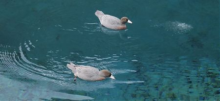 Two Blue ducks, (Whio), on a very blue Blue Lake, Nelson Lakes National Park