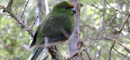 Wow, the not particularly endangered species, the yellow-crowned parakeet. | Kepler Track, Fiordland National Park