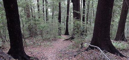 Pelorus River red beech forest, Mt Richmond Forest Park