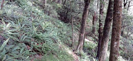 Pretty typical of the crown fern, red beech forest in the Pelorus Valley, Mt Richmond Forest Park