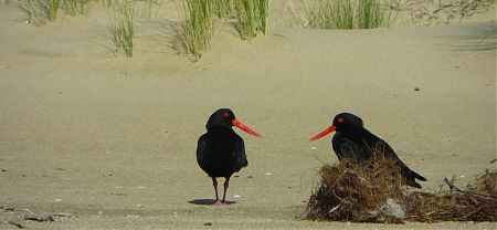 Variable oyster catcher Haematopus unicolor