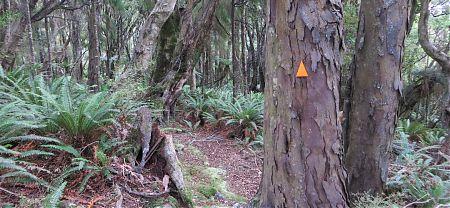 rimu tree Stewart Island