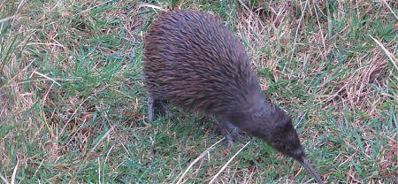 kiwi at Long Harry Hut