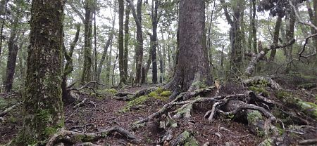 The track between Rocks Hut and Totara Saddle is in good nick  | Mt Richmond Forest Park