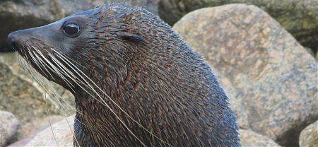 seal on the Heaphy Track, Kahurangi National Park