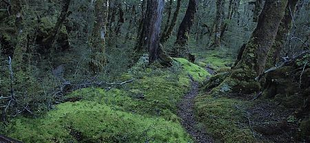 Moss in the D'Urville River valley forest.   Day 6, Nelson Lakes National Park