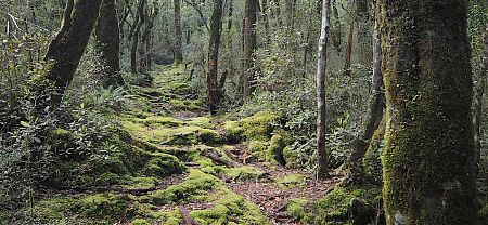 Forest on the way up to Frew Saddle. |  Frew/Toaroha Saddles, Westland