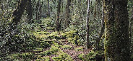 Forest on the way up to Frew Saddle. |  Frew/Toaroha Saddles, Westland