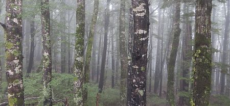 Beech forest in the clouds, near Mt Robert carpark, Nelson Lakes National Park