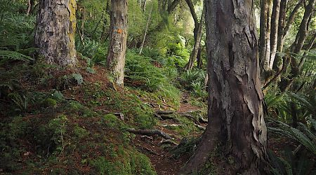 The east side of Rakiura has plenty of walking through rimu forest.     North West Circuit, Stewart Island/Rakiura