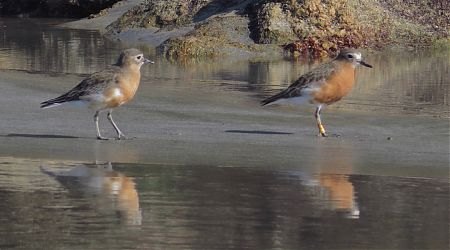 Critically endangered NZ southern dotterels on Doughboy Beach.    Southern Circuit, Stewart Island/Rakiura