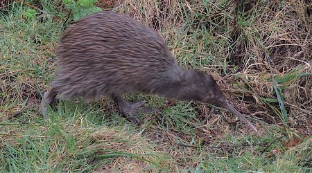 Those kiwis don't slow down. This one was out and about at Long Harry Hut.  |  North west Circuit, Stewart Island/Rakiura