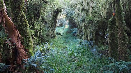 Magical forest around Horseshoe Bend Hut. On the shady side of the valley.   Moeraki River, South Westland