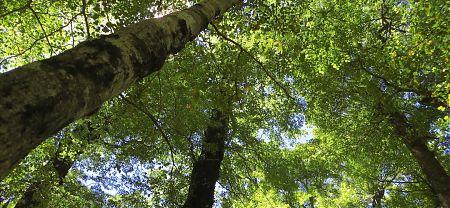 Red beech trees, near Lake Sumner