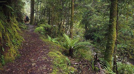 Soon in the forest.   Paparoa Track, Paparoa National Park
